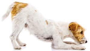 Cropped dog